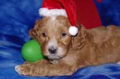 Olympic Labradoodles 5 week old Puppy.  Trixie and Sox, Mr. Green Boy    www.olympiclabradoodles.com