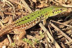 ještěrka Reptiles And Amphibians, Animals, Animales, Animaux, Animal, Animais