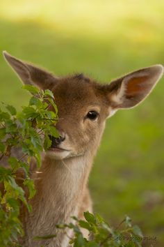 Deer by SSeb Photographie