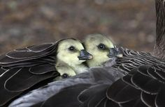 Greylag geese chicks strike a pose   :Tanha Shabgard