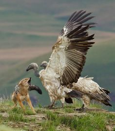 Confrontation between Jackal and Cape Vultures. Photo: Craig Kerr. Africa Geographic