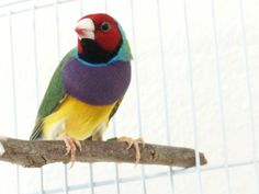 Sunny...one of my male Lady Gouldian finches. Colorful, delightful!