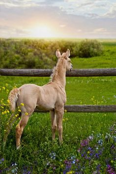 This little golden foal is just too cute! Baby horse standing at the edge of a fence in wildflowers looking to the beautiful colorful sunset enjoying the gorgeous view.