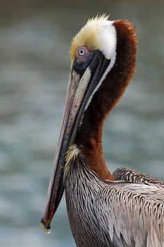 Photograph Animals Two Pelicans Heads Necks Bills Canvas Art Print