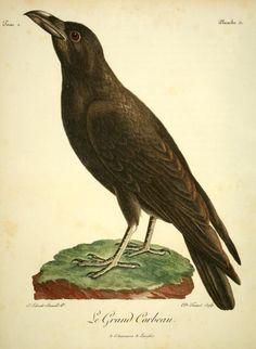 Le Grand Corbeau (Raven). Illustration from 'Histoire Naturelle des Oiseaux d'Afrique' by François Le Vaillant. Published 1799.