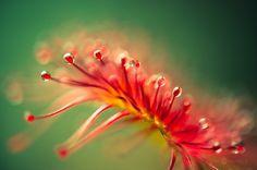 ALLPE Medio Ambiente Blog Medioambiente.org : Rocío del Sol, plantas carnívoras que parecen de otro mundo