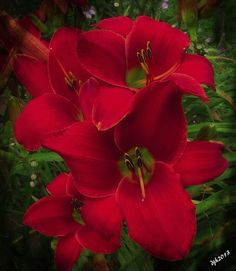 Hemerocallis 'Lip Liner' Red Daylilies.7.28.13 | Flickr - Photo Sharing!