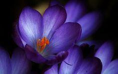 Açafrão, Flor, Flores, Primavera