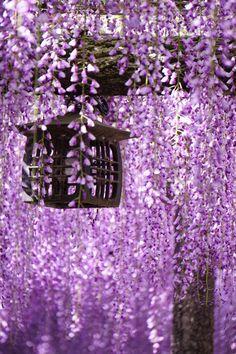 Wisteria, Aichi, Japan via αcafe | My Sony Club | ソニー #藤 #wisteria