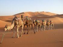 Camellos del desierto
