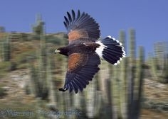 Harris Hawk in flight photo