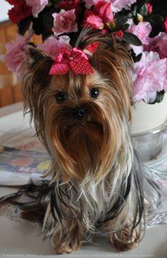 girl yorkshire | Photo de Chiens > Yorkshire terrier > Esperance-girl > N° 573956 sur ... #yorkshireterrier