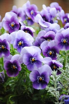 """purple pansy...""""You occupy my thoughts"""""""
