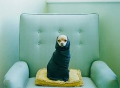 Chihuahua renounces Mexican citizenship and joins nomads in Morocco.