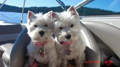 My puppies :) Westies are the best.