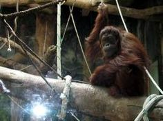 6 things you never knew about orangutans