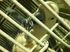 Peachy, a Moluccan Cockatoo, eating Harrisons Bird Food!  Yummy!