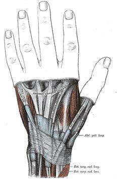Anatomical snuff box - WikiWand
