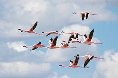 Flamingos (Phoenicopterus minor) in flight. Photograph by Ian Johnson.