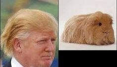 A suspiciously square guinea pig: 21 Pictures That Totally Look Like Donald Trump Donald Trump Hair, Donald Trump Funny, Mode Bizarre, Funny Jokes, Hilarious, It's Funny, Stupid Funny, Cute Guinea Pigs, Lol