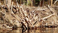 Gleich einer künstlerischen Skulptur ragt ein Wurzelstock aus den dunklen Gewässern unweit des Rio Negro.