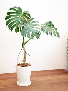 21 Cool House Plants Can Thrive with Low Light - Indoor Water Garden, Indoor Plant Pots, Outdoor Plants, Philodendron Monstera, Monstera Deliciosa, House Plants Decor, Plant Decor, Flowers Nature, Tropical Flowers
