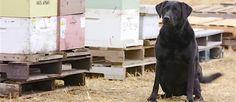 Klinker ziet er dan wel uit als een doodnormale #Labrador, maar ze is de enige hond in Amerika die dit werk kan doen: Het herkennen van ziektes bij bijen en zo hele populaties behouden van de dood. #bijensterfte