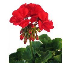 Muškáty - tajemství růstu Garden Containers, Plants, Flora, Home And Garden, Flowers, House Plants, Flower Garden, Anthurium, Pelargonium