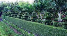 Bán Cây Ắc Ó trồng trang trí Công trình, Sân vườn
