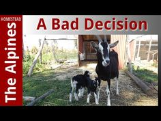 British Alpine Goats - A Bad Decision - The Alpines Homestead
