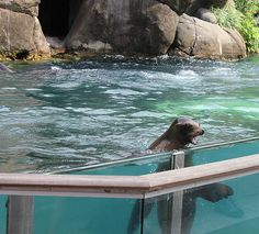 Sea Lion at Central Park Zoo #nyc #newyork