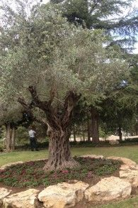 The olive tree higher up on Mount Herzl, near where the official Remembrance Day ceremony takes place (photo credit: Mitch Ginsburg/ Times o...