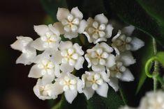 Hoya thomsonii by zaxke