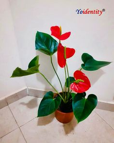If you have space to spare, make an impressive display in your living room with a great eye-catcher Anthurium plant.  What makes it special:  One of the rarest indoor flowering plants.  NASA recommended air purifier plant.  Low maintenance plant.  Anthurium symbolizes hospitality. Buy Indoor Plants, Indoor Flowering Plants, Outdoor Plants, Vegetative Reproduction, Online Plant Nursery, Buy Plants Online, Brown Flowers, Organic Soil, Low Maintenance Plants