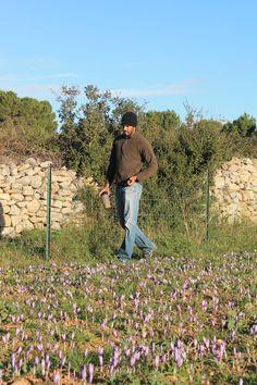 Safranière - Gruissan - Aude La récolte 2014 Saffron