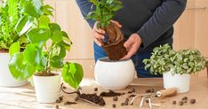 gardening, planting at home. man relocating ficus houseplant - Buy this stock photo and explore similar images at Adobe Stock Ficus, Saintpaulia, Indoor Flowers, House Plants, Planter Pots, Stock Photos, Garden, Logos, Design