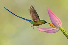 The Long-tailed Sylph (Aglaiocercus kingi) is a species of hummingbird in the Trochilidae family. It is found in Bolivia, Colombia, Ecuador, Peru, and Venezuela