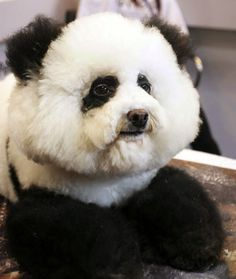 10 Dogs That Look Like Pandas hahahaha this is great! @Dakota Green