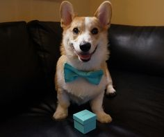 This is how I NEED to be proposed to!! Corgi and Tiffany's ring...does it get any better?!