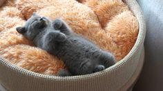 British Shorthair Cattery Amazing Aisha*PL LUIVICIA