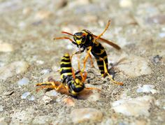 wasps fighting