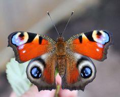 Ein Schmetterling wird flügge, Tagpfauenauge