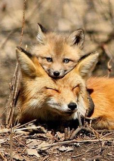 "Fox Cub: ""I've never been  afraid, when my Mom is here; even if she is sleeping!"""