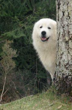 Abruzzese Mastiff Dog. my polar bear. i wanna squeeze him