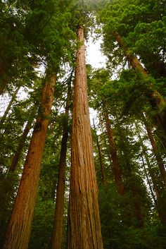 Going to the giant redwoods is on my bucket list. It would be absolutely amazing