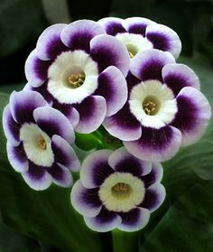Alpine Auricula Avril Hunter, a showy cultivar of Primula auricular, one of the alpine primroses. photo: Henry Pugh.