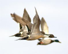 Ducks Unlimited Photo Gallery: Northern Pintails in flight. Waterfowl Hunting, Duck Hunting, Diy Halloween, Ducks Unlimited, Bird Feathers, Birds In Flight, Animal Photography, Pet Birds, The Great Outdoors