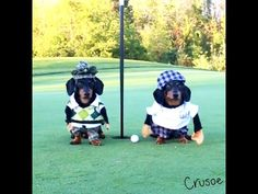 Crusoe The Dachshund Goes Golfing With His Brother Oakley! : Video Clips From The Coolest One