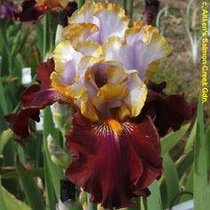 "'Plot Line' (Joseph Ghio, R. 2010) Sdlg. 06-13S. TB, 38"" (97 cm), Early midseason bloom. Standards blue, wide tan halo; Falls mahogany maroon; beards yellow. 04-45P: (02-177P3: (00-133J2: ('Pennant Fever' x U97-20T, unknown) x'Gilt Trip') x 01-178W: ('Peaches And Dreams' x 99-149W2: ('Tropical Magic' x 97-24A3, 'Natural Blond' sib))) X 03-23#: (01-60: (99-40S: (97-46N: ('Impulsive' x 'Ocelot') x 97-36H3, 'Revere' sib) x 99-25M: (97-36H3 x 'Original Art)) x 'Decadence')."