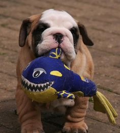I caught a fish! #english #bulldog #englishbulldog #bulldogs #breed #dogs #pets #animals #dog #canine #pooch #bully #doggy #cute #sweet #puppy #puppies #bullies